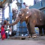 manakula-vinayagar-temple-elephant
