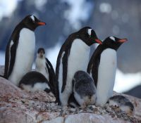 Gentoo_Penguins_with_chicks_at_Jougla_Point,_Antarctica_(6063655768)