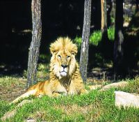 Asiatic lion 1
