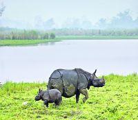 Indian Rhino 1
