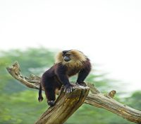 Lion-tailed Macaque 3